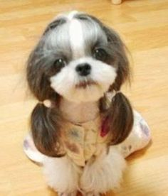 Shih Tzu in pigtails cuuuuuute! little girls, funny dogs, cutest dogs, new hair, puppi, pony tails, shih tzu, little dogs, old ladies