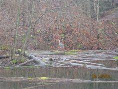 next door area Blue heron