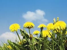 Kill Dandelions Naturally and Effectively this summer with these tips!