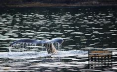 Amazing Whale Tail - Desktop Calendar for Sept. 2013 — earthXplorer • adventure travel •