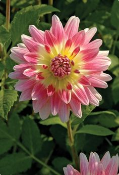 Dahlia 'Tropical Sunset' - Veseys