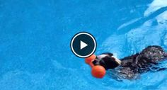 Watch this Swimming Freak named Izzy the Boston Terrier at 13 Years Old! ► http://www.bterrier.com/?p=25912