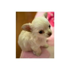 Cute puppies photos Cute Chihuahua Puppies Pictures ❤ liked on Polyvore