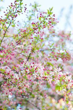 spring flowers, flowering trees, spring fever, apples, cherries