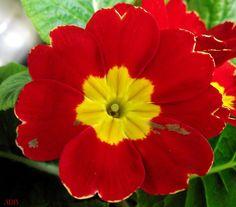 Red Primrose Flower