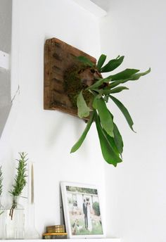 DIY: How to Hang a Staghorn Fern, from Gardenista