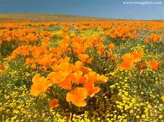 California Golden Poppies and Goldfields, Antelope Valley, California