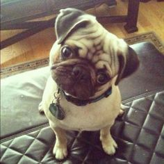 Pug SO CUTE:) One day I will have a pug!!!