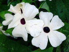 Thunbergia alata 'Alba'  - dry shade creeper