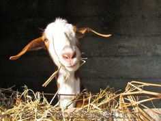 #goatvet likes this article on signs of heat in goats - in southern hemisphere look from March to July