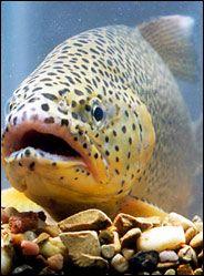 Apache Trout ~ AZ State Fish white mountain