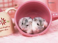 tea cup hamsters