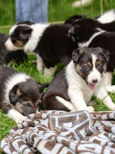 Border Collie Puppies!