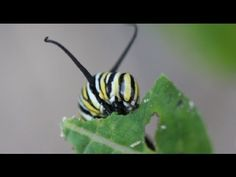 Life Cycle of the Monarch Butterfly (video explanation)