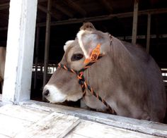 A pretty Brown Swiss cow at the Sunshine Fair in Schoharie County NY