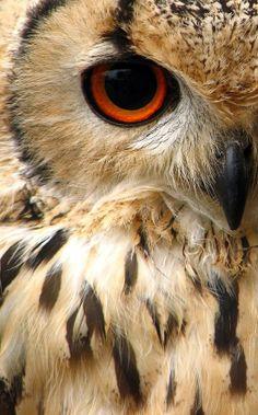 Indian eagle owl.