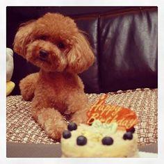 5 years old birthday (SaSa, poodle)