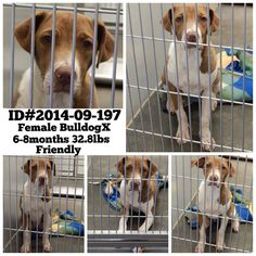 THIS SWEET DOG IS ***EXTREMELY URGENT*** AT BARROW COUNTY ANIMAL CONTROL, WINDER, GA!!! Phone# (770) 307-3012 IF LONG DISTANCE, THE SHELTER DOES NOT RETURN CALLS. IF LONG DISTANCE, FAX Kimberly Perez at kperez@barrowga.org at fax# (770) 867-1660