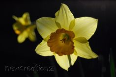 Spring daffodil flower print  Yellow by NewCreatioNZ on Etsy, $25.00