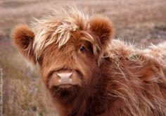 Highland cow calf!