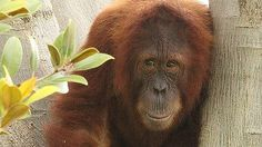 Semeru was born at Perth Zoo in 2005 and was the first male zoo-born orangutan to be released into the wild.