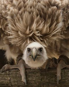 Griffon Vulture by Yves Huts