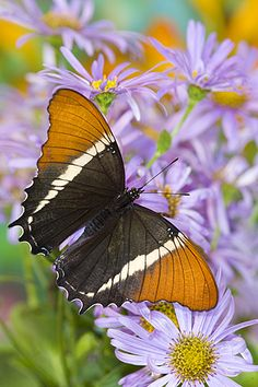 Siproeta epaphus - Black and Tan Page butterfly