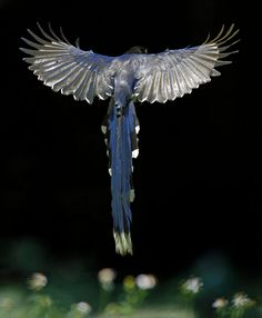 Beautiful bird in flight.