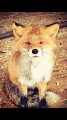 Winking fox. I almost cannot handle the cuteness here....