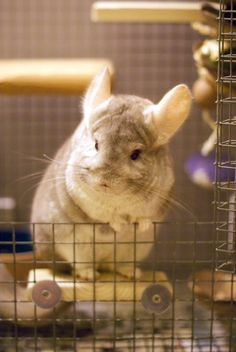 Chinchilla care tips at at URL: http://chinchilla.co/ Fb fan page: https://www.facebook.com/LoveChinchilla