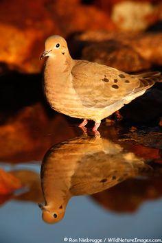 Mourning Dove, Amado, Arizona