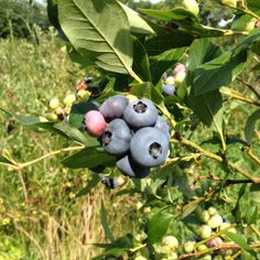 I lost my blueberries last year and need to put in some new plants this year. What varieties do you recommend?