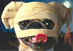 Halloween pug...