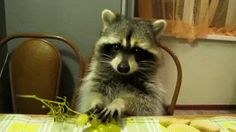 Raccoon plucking a grape off the stem and eating it! So cute!