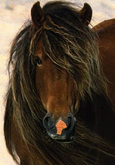 Wild Horses of Sable Island...just beautiful.!