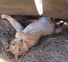 Little lion.