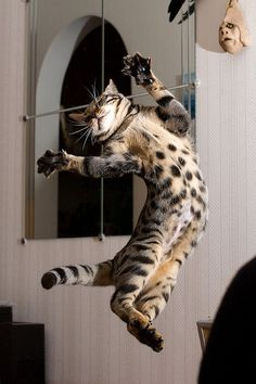 Bengal! Look at the spotted tummy!:)