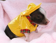 miniture pig photos | Micro pigs also have hair rather than fur, making them less ...