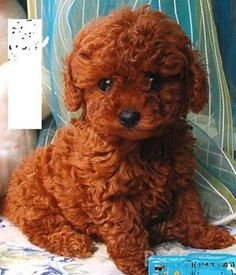 red toy poodle Soleil