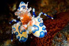 Harlequin schrimp bali