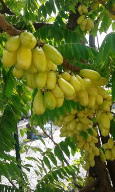 Averrhoa  bilimbi, Cucumber tree, Tree Sorrel or Belimbing buluh