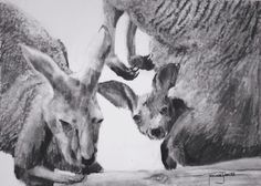 (SOLD) #60 Kangaroo The last drawing of my charity fundraiser series!!! yay