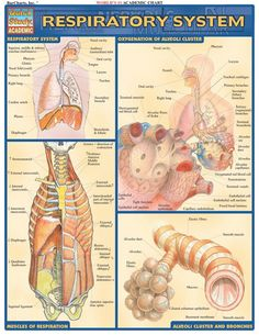 Respiratory System Review Guide. Browse and download thousands of educational eBooks, worksheets, teacher presentations, practice tests and more at http://www.Examville.com  #nursing #medicine #NCLEX #nurses #studyguide #testprep #downloads #ebooks #free #education #physiology #anatomy #teaching #homeschool #examville #MCAT #USMLE