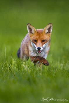 ☀Sneaky Red Fox (Vulpes Vulpes) by markgsmith*