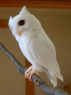 .white owl