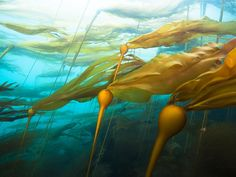 Pictures - Nature Yields New Ideas for Energy and Efficiency - Long strands of bull kelp ripple beneath the surface of churning coastal waters, drawing fuel from the sun and, perhaps, pointing out a better way for humanity to capture and use energy.    http://news.nationalgeographic.com/news/energy/2012/04/pictures/120419-biomimicry-for-energy/