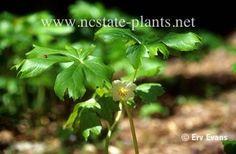 Scientific Name Podophyllum peltatum  Common Name May-apple; Mandrake