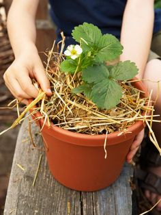 Use Straw Mulch for Healthy Strawberries-prevent rot.