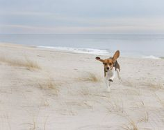 Airborne Beagle   hound dog beagle beach by tarakatephotography