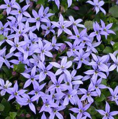 Pratia pedunculata 'County Park'  Really blue blue star creeper